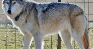 Волкособ - описание породы