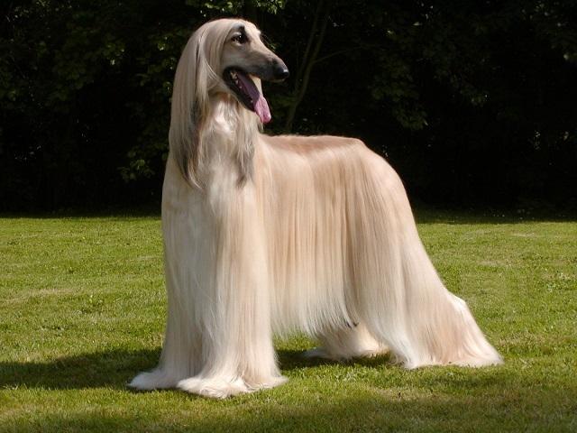 Самые красивые собаки - Афганская борзая