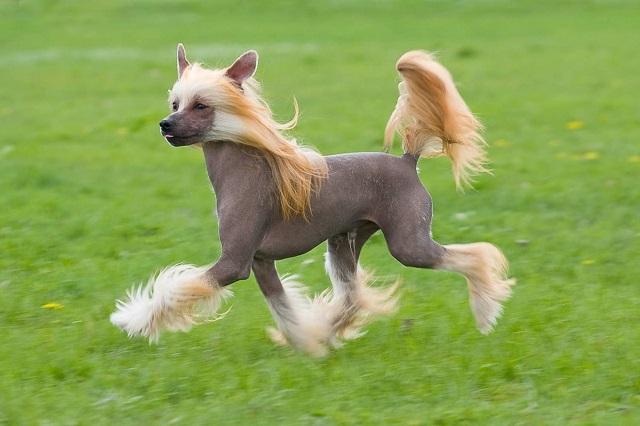 Изображение - Китайская хохлатая собака