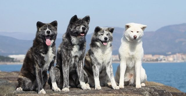 Изображение - Японские породы собак