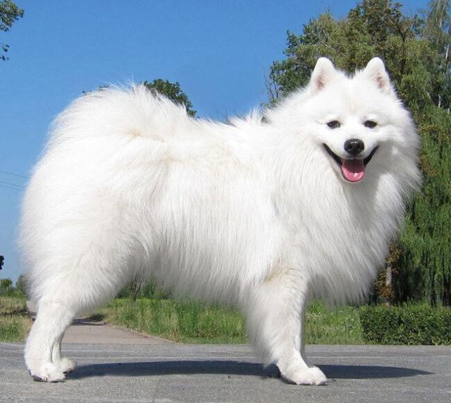ТОП 35 японских пород собак и пород, популярных в Японии- самая полная подборка с фото и описанием